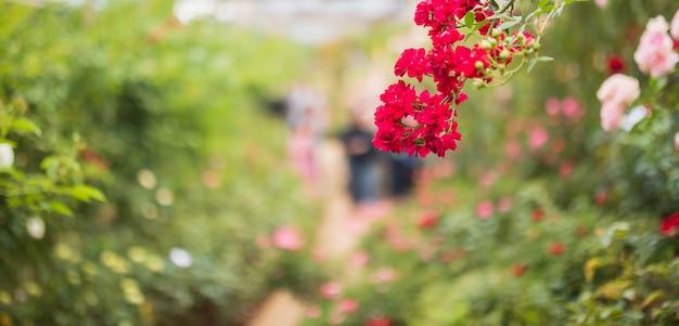 Lindas rosas vermelhas florescem no jardim