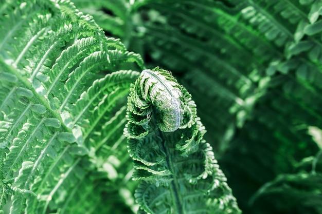 Lindas samambaias deixam folhagem verde na primavera perto de lindas samambaias em crescimento na floresta