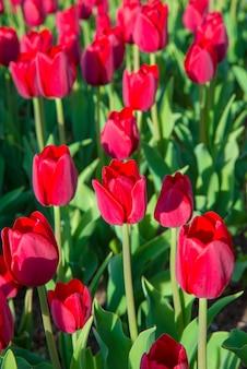 Lindas tulipas brancas rosa vermelhas no jardim