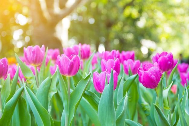 Lindas tulipas coloridas.