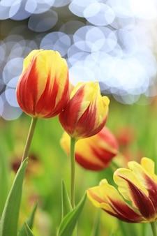 Lindas tulipas cor de rosa com folha verde no jardim com bokeh