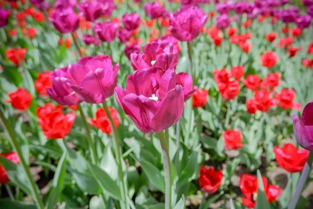 Lindas tulipas cor de rosa e vermelhas no jardim