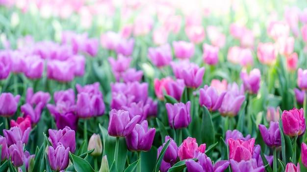 Lindas tulipas cor de rosa na primavera