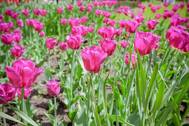 Lindas tulipas cor de rosa no jardim