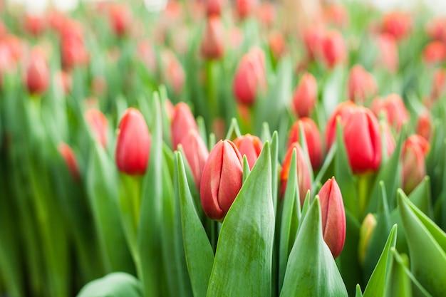Lindas tulipas cultivadas em estufa