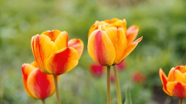 Lindas tulipas em um campo
