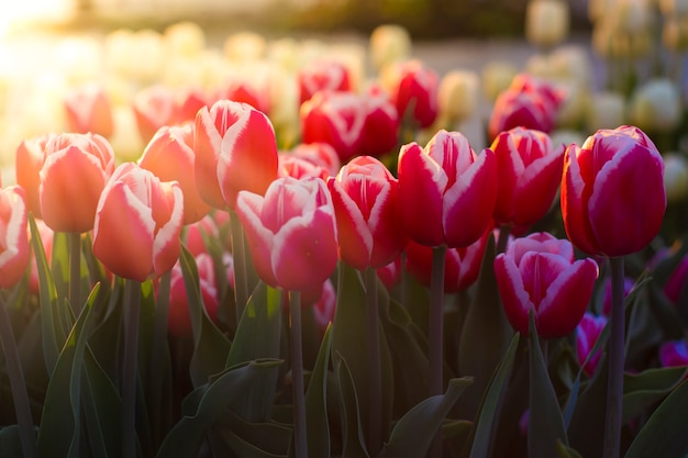 Lindas tulipas em um fundo de luz do sol da manhã.