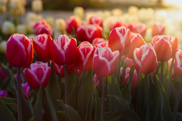 Lindas tulipas em uma superfície sob o sol da manhã
