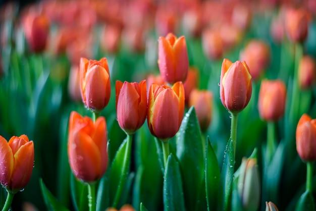 Lindas tulipas laranja florescendo com gotas de água no jardim