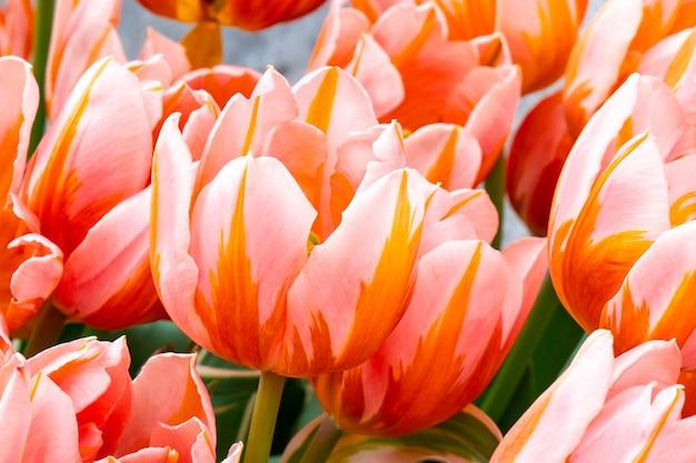 Lindas tulipas no mercado de flores em amsterdam. flora.