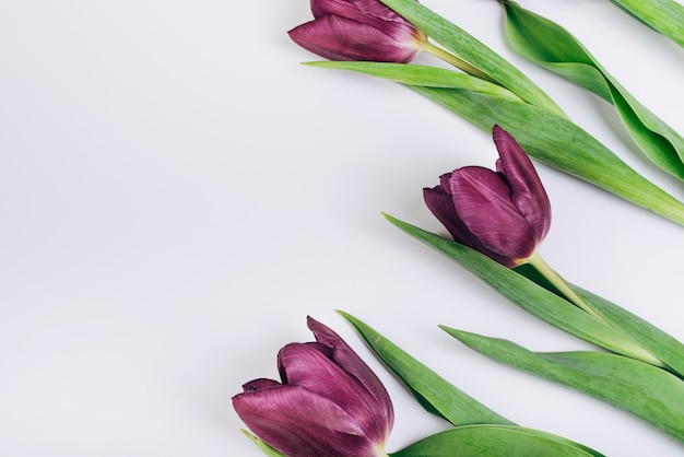 Lindas tulipas roxas contra o pano de fundo branco
