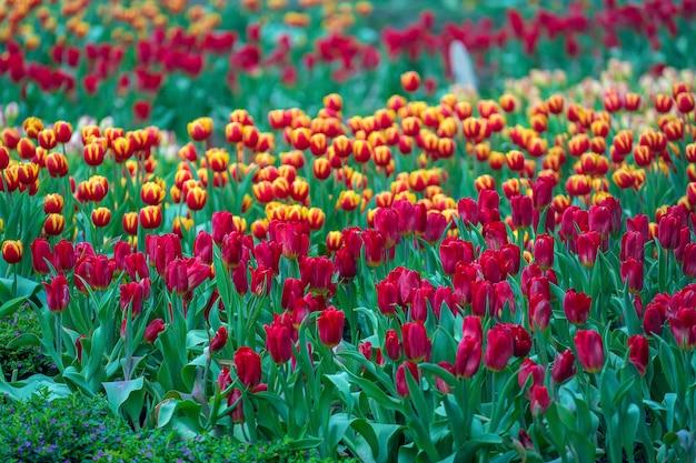 Lindas tulipas vermelhas e amarelas coloridas