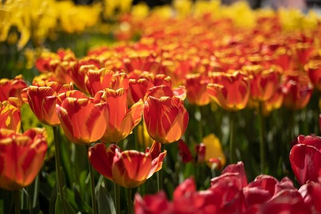 Lindas tulipas vermelhas, tulipas vermelhas híbridas de darwin em um canteiro de flores.