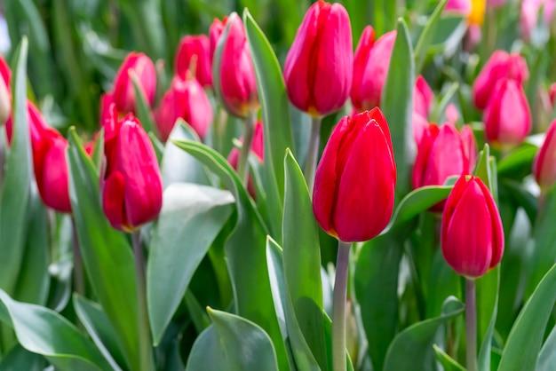Lindas tulipas vermelhas.