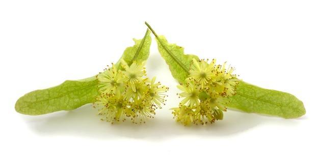 Linden é uma planta medicinal, mel, alimentícia e técnica. flor isolada no fundo branco.