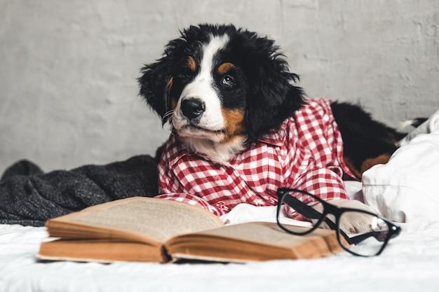 Lindo bernese mountain dog com camisa vermelha no cobertor com um livro e óculos.
