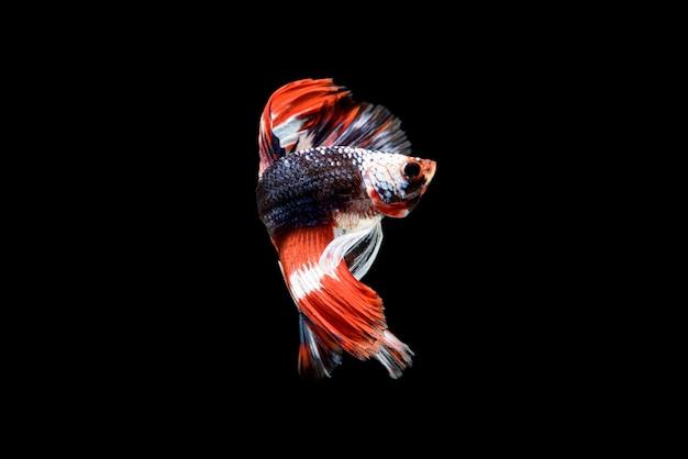 Lindo betta splendens vermelho, azul e branco. o peixe lutador siamês, comumente conhecido como betta, é um peixe popular no comércio de aquários.