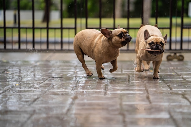 Lindo buldogue francês brincando na chuva