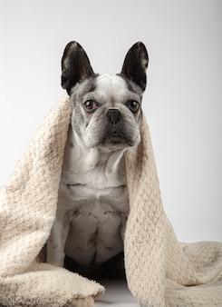 Lindo buldogue francês enrolado em um cobertor, olhando para a câmera, sentado em um fundo branco