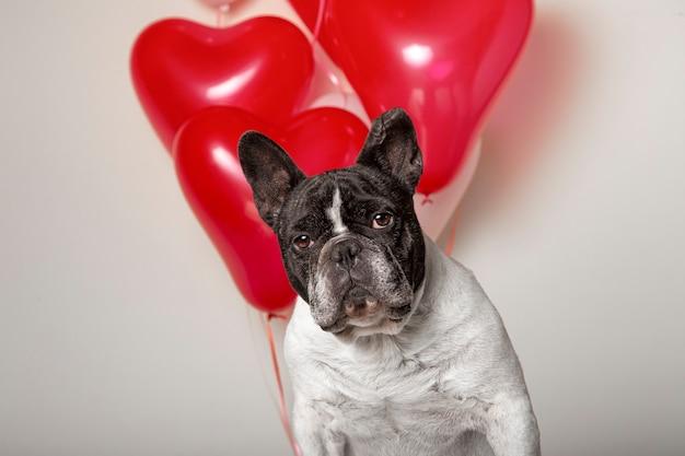 Lindo bulldog francês com balões coloridos em forma de coração no fundo. retrato de estúdio
