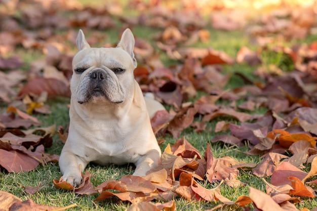 Lindo bulldog francês no outono sai no jardim.