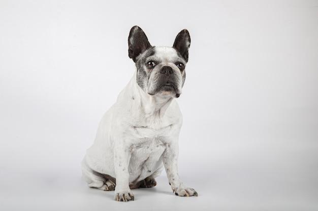 Lindo bulldog francês, olhando para a câmera, isolada no fundo branco