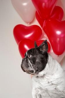 Lindo bulldog francês olhando para o lado com balões coloridos em forma de coração no fundo.