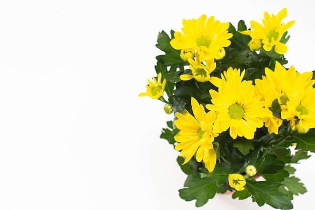 Lindo buquê de crisântemo amarelo sobre fundo branco. vista de cima, copie o espaço. cartão floral. conceito de férias