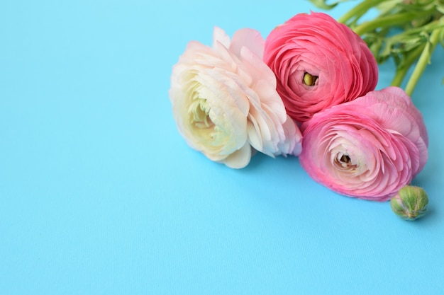 Lindo buquê de flores de ranúnculo rosa em uma superfície azul