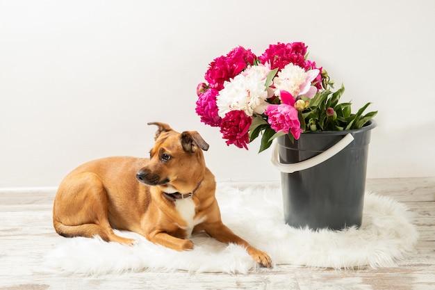 Lindo buquê de peônias e um cachorro no interior