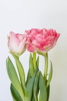 Lindo buquê de tulipas cor de rosa em um fundo branco.