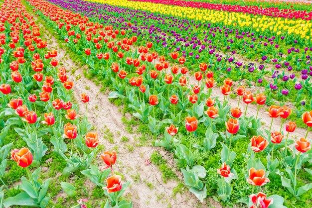 Lindo buquê de tulipas na temporada de primavera.