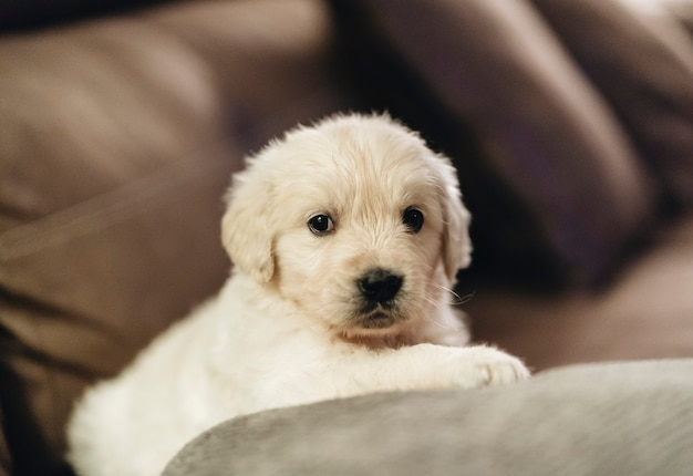 Lindo cachorrinho da raça golden retriever no sofá em casa
