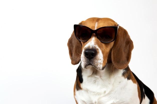 Lindo cachorro beagle em branco