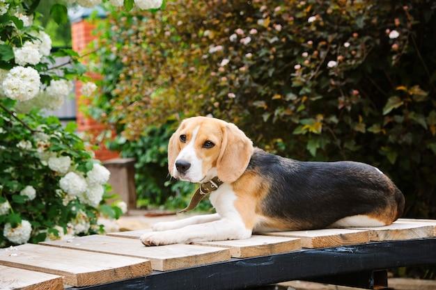 Lindo cachorro beagle sentado no jardim