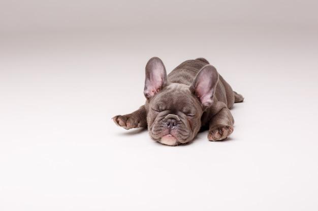 Lindo cachorro bulldog francês deitado isolado no branco