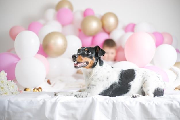Lindo cachorro jack russel terrier com muitos balões em fundo branco