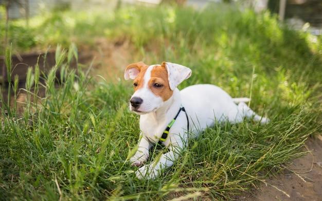 Lindo cachorro jack russell encontra-se na grama e olha para a câmera