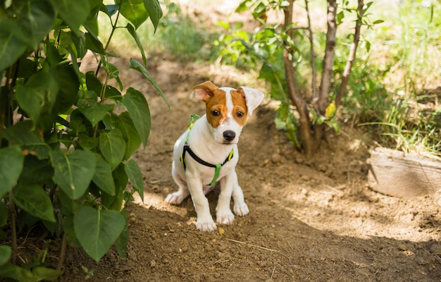 Lindo cachorro jack russell na natureza e olha para a câmera