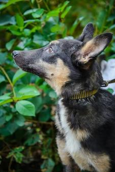 Lindo cachorro jovem sem raça definida com orelhas grandes olhando para o close up