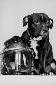 Lindo cachorro preto com capacete de motociclista