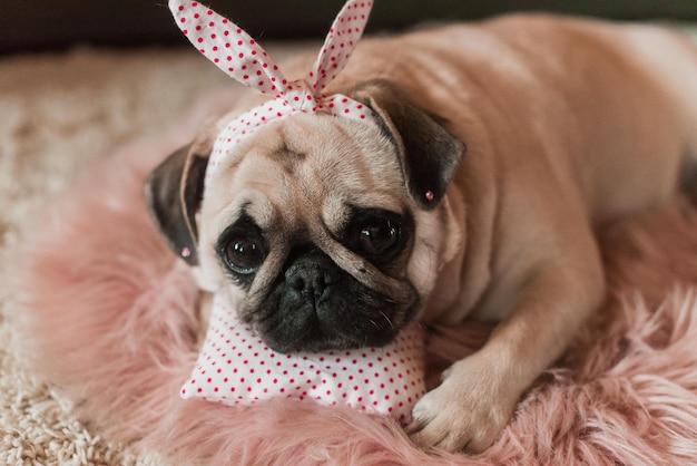 Lindo cachorro pug branco gordo e fofo com brincadeira na cabeça, deitado em uma cama de cachorro rosa suave no estúdio