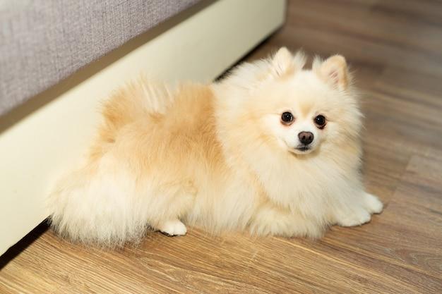 Lindo cachorro spitz doméstico de raça pura