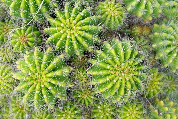 Lindo cacto no jardim. amplamente cultivada como planta ornamental. foto de close-up de foco seletivo.