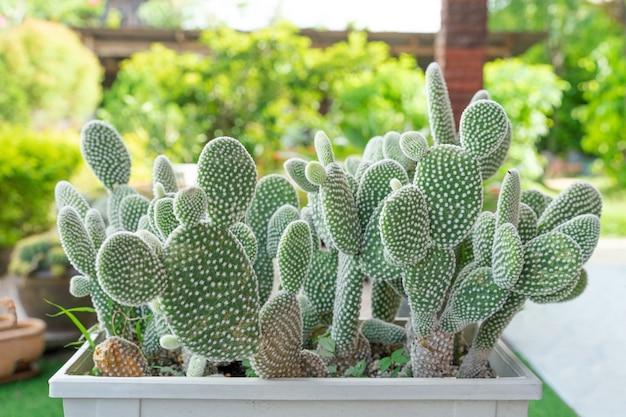 Lindo cacto no pote. amplamente cultivada como planta ornamental. foto de close-up de foco seletivo.