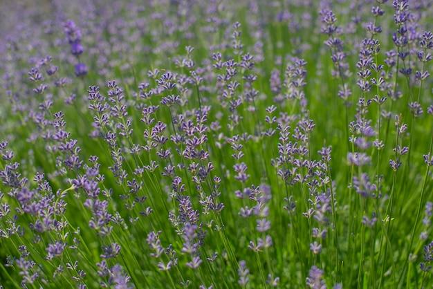 Lindo campo com flores lilases lavanda