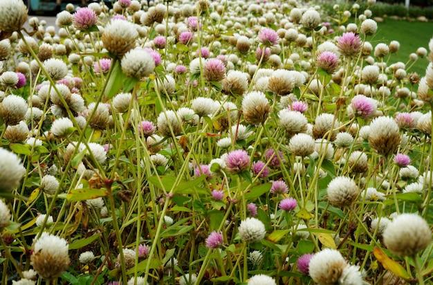 Lindo campo de flores de amaranto globo