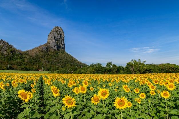Lindo campo de girassóis no verão com céu azul e grande montanha na província de lop buri, tailândia