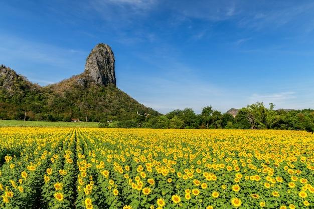 Lindo campo de girassóis no verão com céu azul na província de lop buri, tailândia