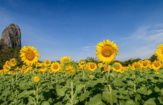 Lindo campo de girassóis no verão com grande montanha e céu azul na província de lop buri